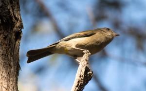 Juvenile-Golden-whistler-or