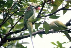 Jurong-Parrot